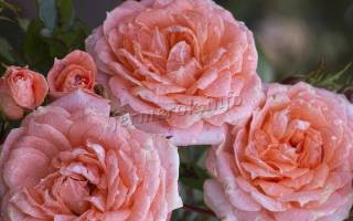 Пионообразные розы фото