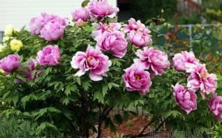 Можно ли сажать пионы весной