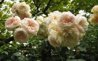 Группы плетистых роз