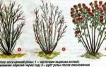 Обрезание роз на зиму