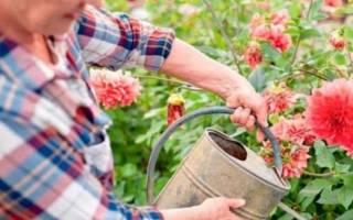 Почему не цветут георгины