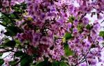 Павлония растение описание
