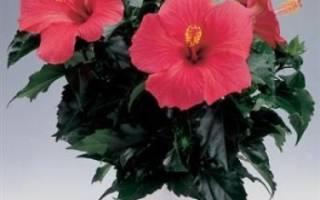 Как подрезать китайскую розу в домашних условиях