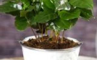 Комнатное растение кофейное дерево уход