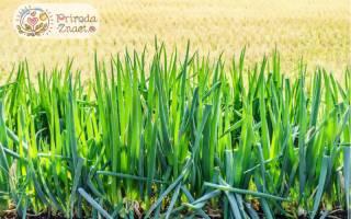 Что посадить лук батун или многолетние цветы