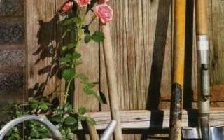 Как правильно выбирать саженцы роз