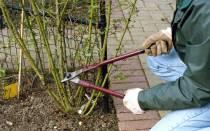 Обрезка розы весной для начинающих пошаговые картинки