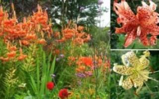 Украшение сада тигровая лилия посадка уход размножение