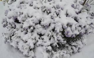 Чем и как укрыть клематис на зиму