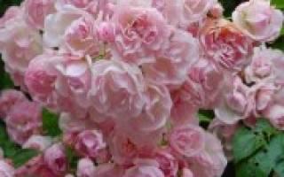 Какие розы цветут все лето