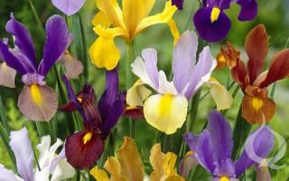 Цветы луковичных ирисов