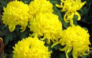 Многолетние цветы желтого цвета фото и название