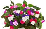 Цветок бальзамин комнатный ванька мокрый