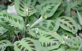 Комнатный цветок маранта как ухаживать