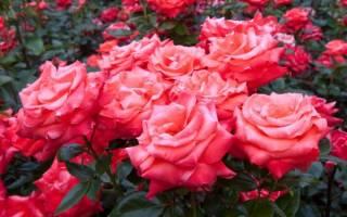 Обрезка чайной розы осенью