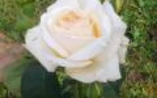 Особенности альпийской розы