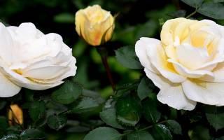 Канадская роза джон коннелл j p connell