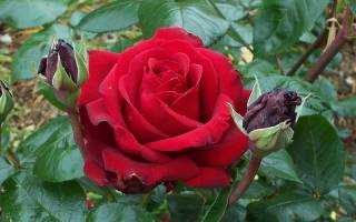 Инструкция по обрезке парковых роз