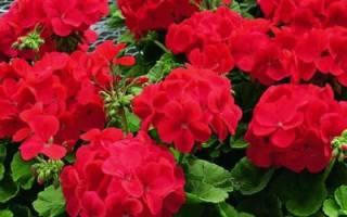 Комнатные растения герань уход и размножение
