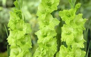 Секреты посадки и выращивания гладиолусов на участке