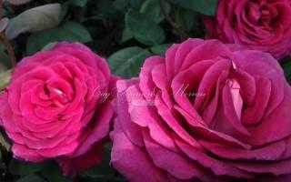 Питомник роз в подмосковье