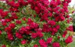 Как посадить розу «танец огня»