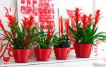 Комнатные цветы с красными цветами
