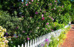 Особенности садового гибискуса