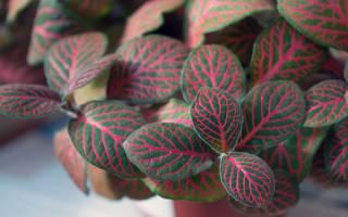 Домашние растения с розовыми листьями