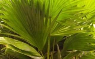 Ложная пальма комнатное растение