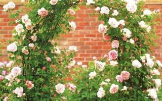 Общее знакомство с плетистыми розами