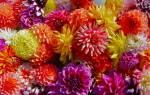 Уход за многолетними георгинами FloweryValeru