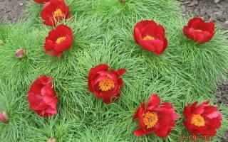 Пион тонколистный садовый дикарь