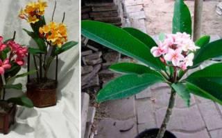 Плумерия комнатное растение