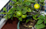 Удобрение для лимона комнатного в домашних условиях