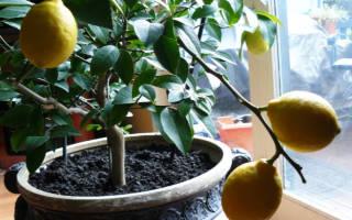 Выращивание комнатного лимона в домашних условиях