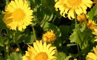 Ромашка желтая многолетняя