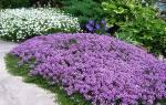 Многолетние почвопокровные растения цветущие все лето