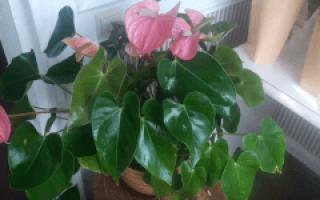 Растение мужское счастье уход в домашних условиях