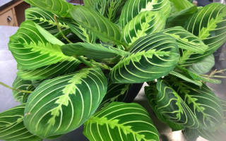 Маранда растение уход