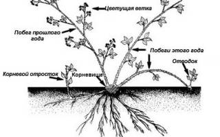Ежемалина размножение черенками