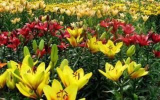 Луковичные в саду лилии посадка и уход